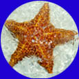 Silver Deep Excursions: Starfish